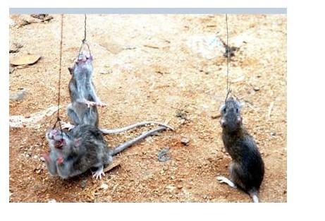 捕鼠的好方法_捕鼠器_最好的捕鼠方法